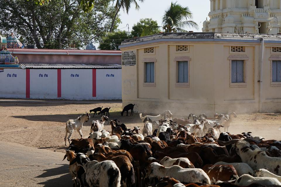 The Goats of Tirukkolur